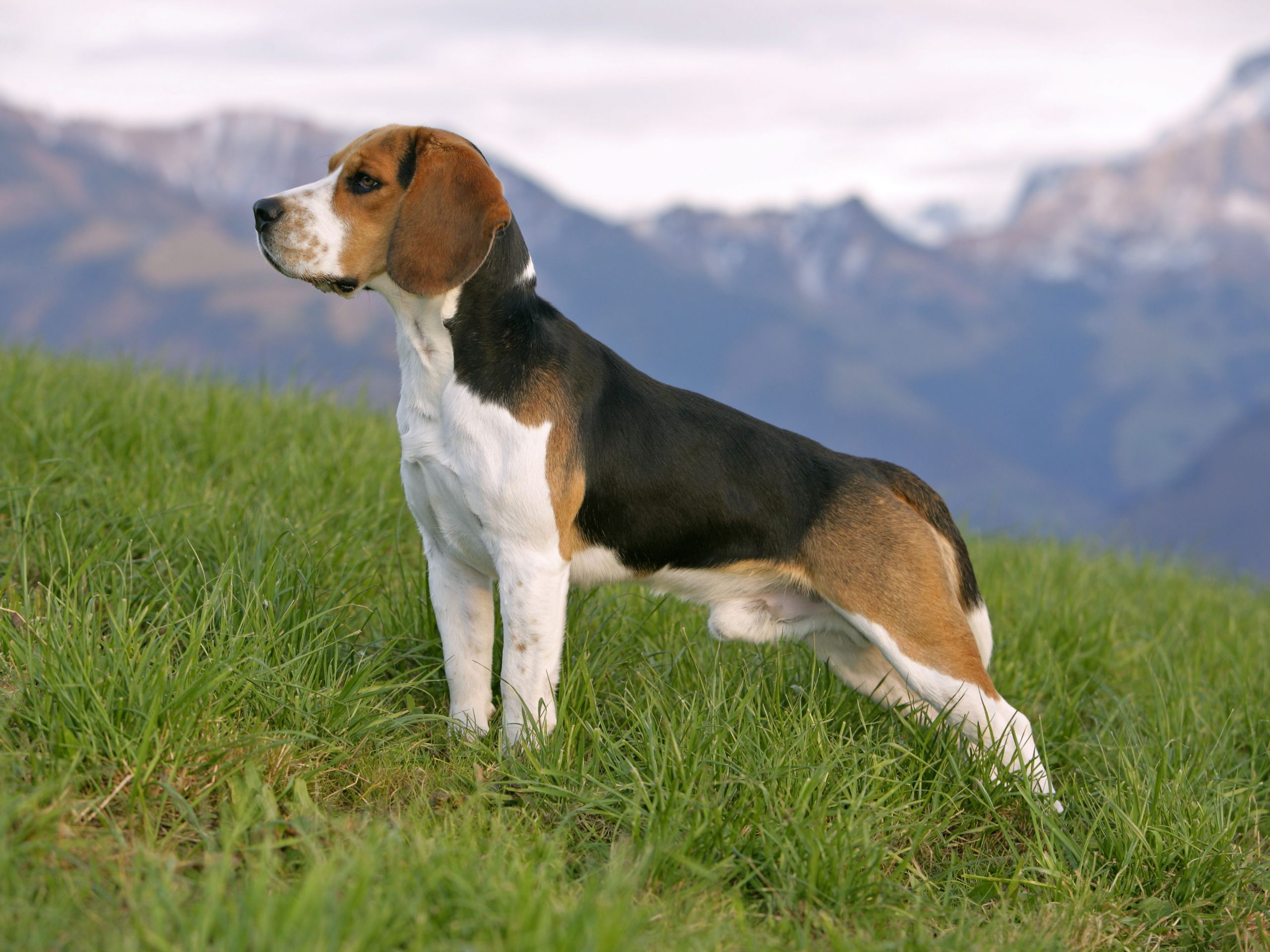 Most popular dogs breeds